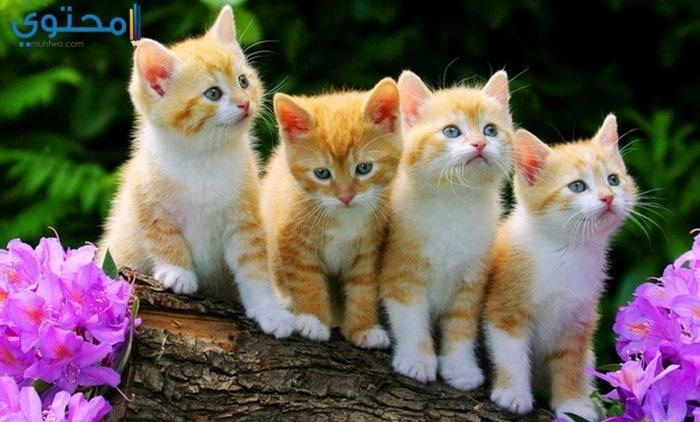بالصور اجمل الصور للقطط في العالم , خلفيات صور قطط 4041 10