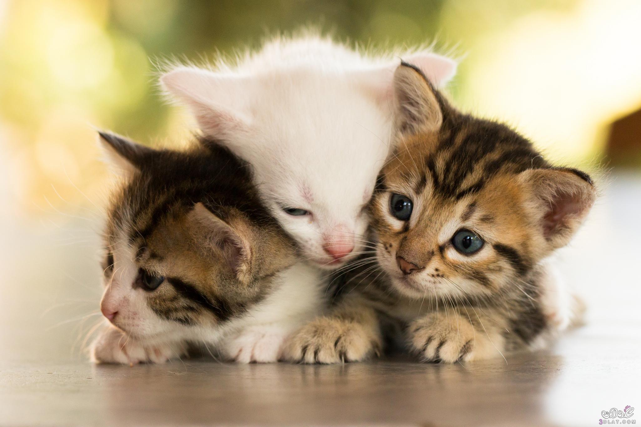 بالصور اجمل الصور للقطط في العالم , خلفيات صور قطط 4041