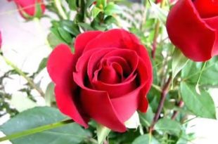 صور صور ورد جميل , صور ازهار رومانسية روعة