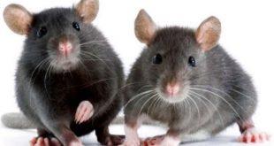 صور افضل طريقة للقضاء على الفئران , افضل طريقة للقضاء على الفئران بدون اى ضرر