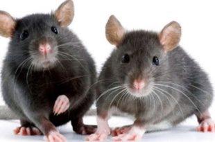 بالصور افضل طريقة للقضاء على الفئران , افضل طريقة للقضاء على الفئران بدون اى ضرر 11451 2 310x205