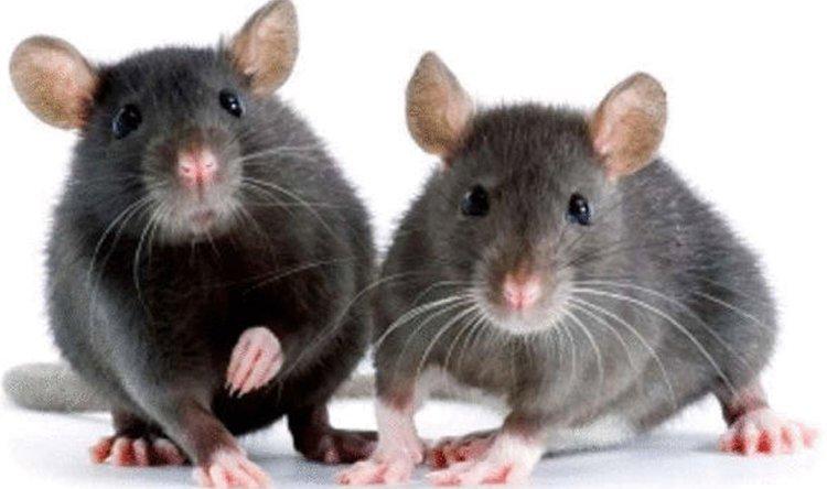 بالصور افضل طريقة للقضاء على الفئران , افضل طريقة للقضاء على الفئران بدون اى ضرر 11451