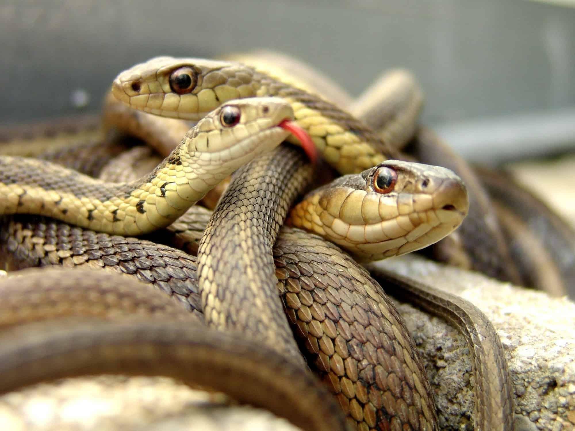 صورة رؤية الثعابين في المنام لابن سيرين , رؤية الثعابين والحيه في المنام لابن سيرين