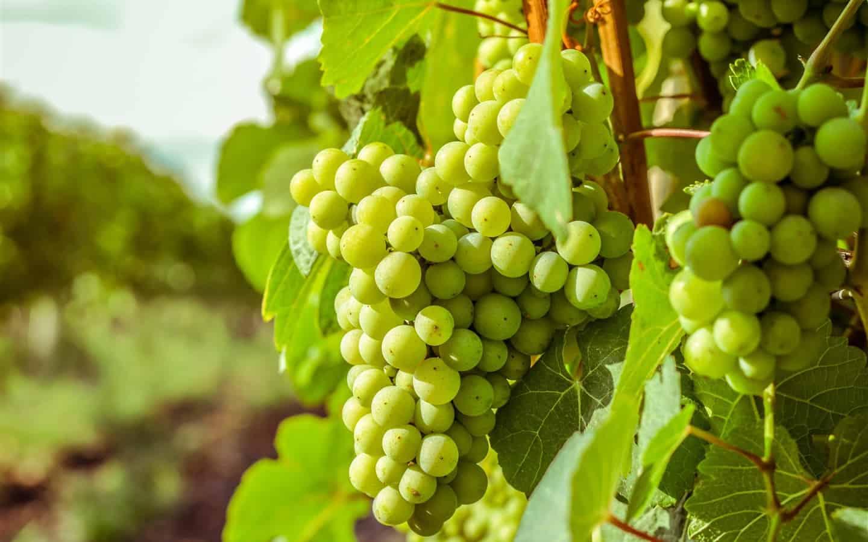 بالصور العنب الاصفر في المنام , رؤي العنب الاصفر في المنام 11523 1