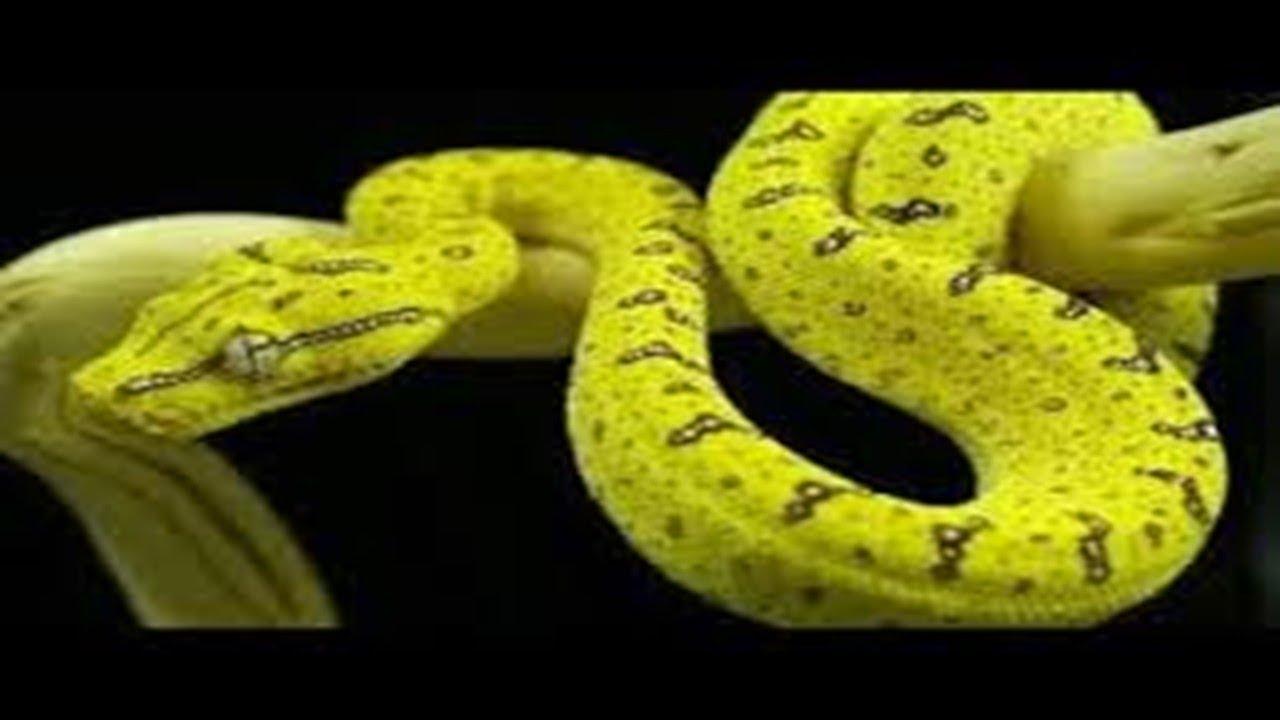 بالصور الافعى الصفراء في المنام لابن سيرين , الافعى الصفراء في المنام للامام ابن سيرين 11544 1