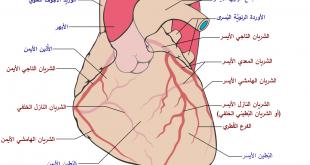 بالصور ما اسم الشريان , تعرف على اسم الشريان الذي في القلب 11709 2 310x165