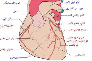 صورة ما اسم الشريان , تعرف على اسم الشريان الذي في القلب