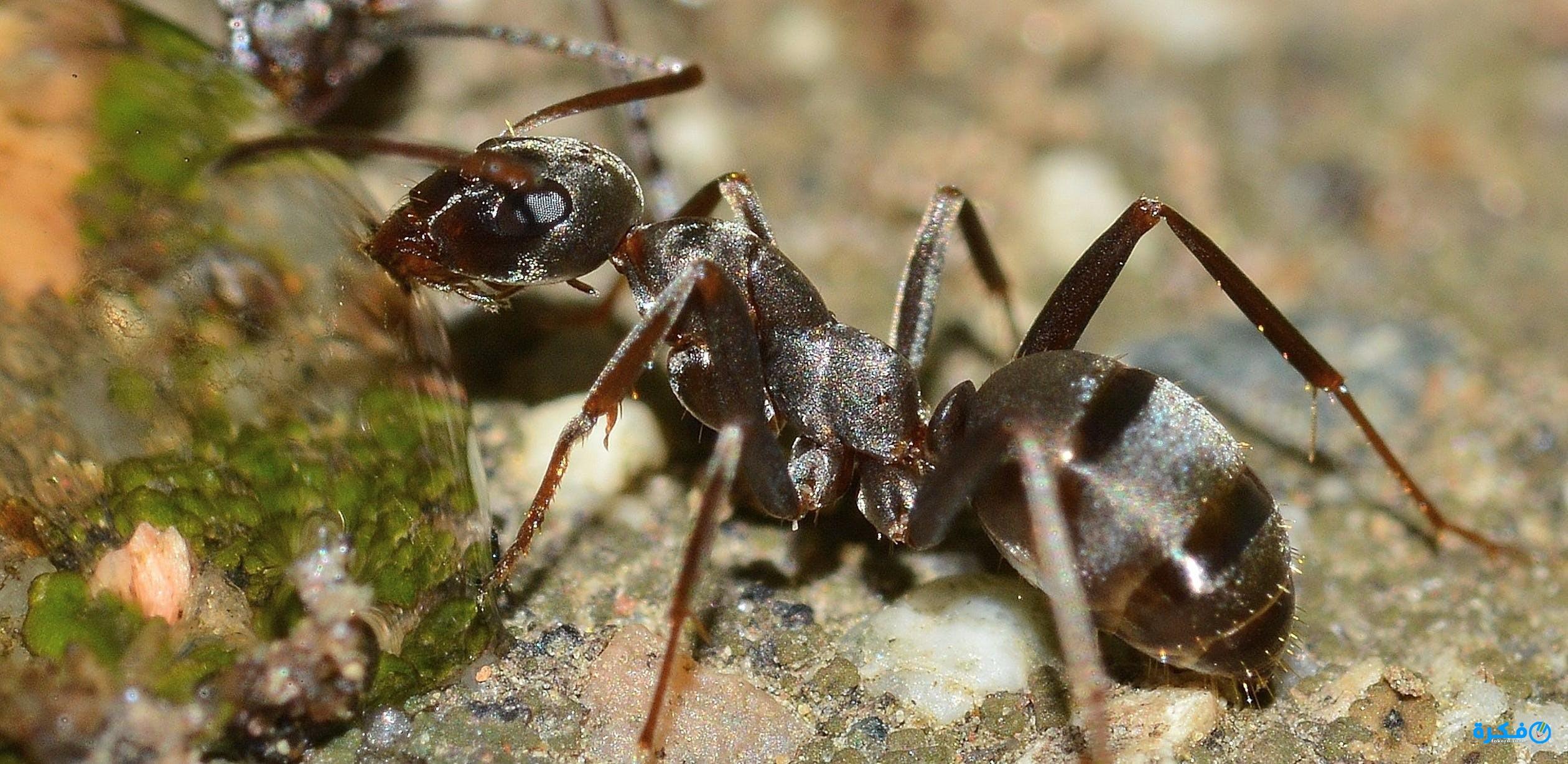 بالصور تفسير حلم النمل للحامل , معرفة وتفسير حلم النمل للحامل