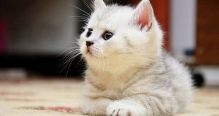 صورة صور قطط صغيره , قطط صغيره تجنن
