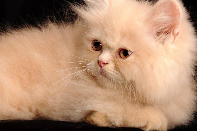 صورة قطط شيرازى , اجمل انواع القطط