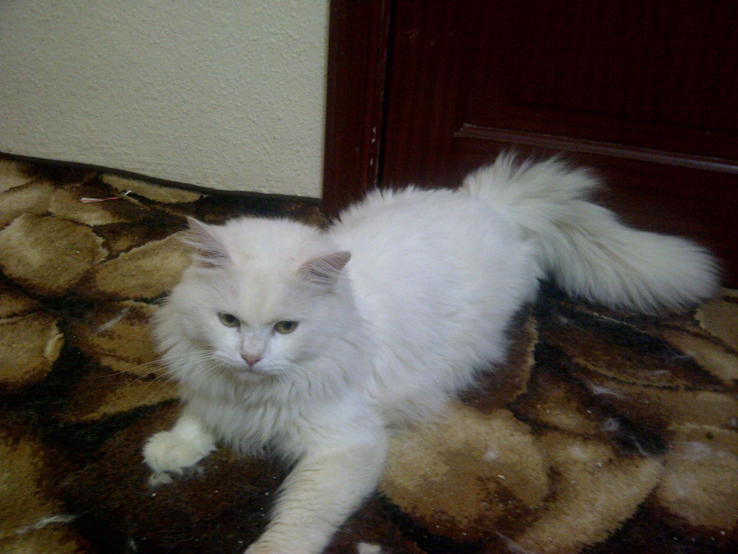 صور قطط رومي , اجمل وارق قطط