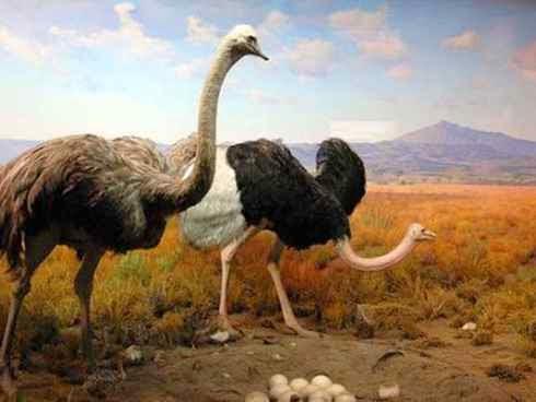 صورة اكبر طائر في العالم , اكبر الطيور حجما النعام