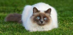أهم المعلومات عن القطط السيامو,قطط سيامو